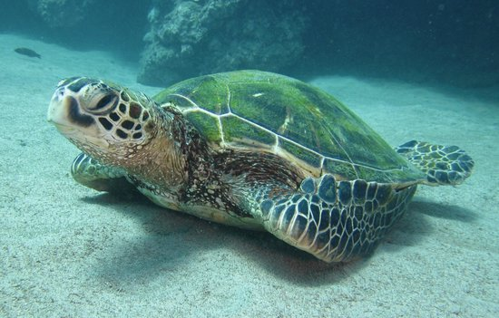 Scorpion Scuba Safaris : Green Sea Turtle