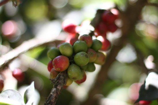 Cooperativa La Voz Que Clama En El Desierto:                   Coffee Cherry