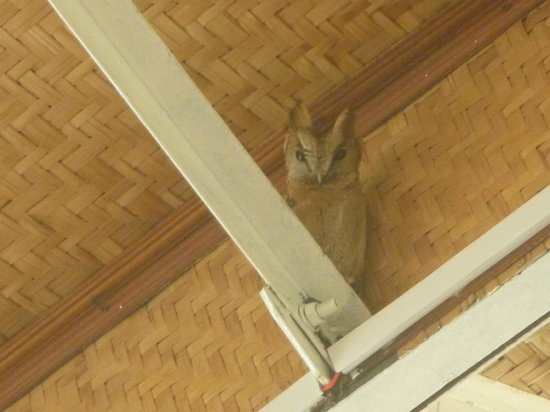 Summit Parkview Hotel:                   Horned Owl in rafters at outdoor dining area