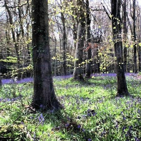 Longbarn House : Blue Bell wood walk in March