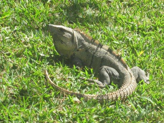 Iberostar Quetzal Playacar: Iguana