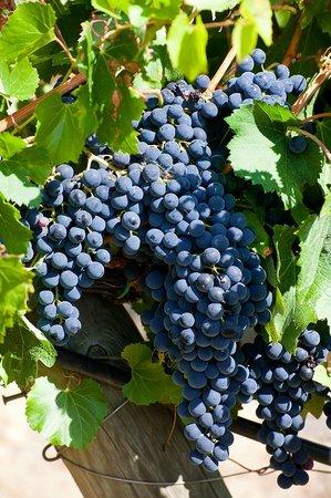 Cantina Berioli: Uve delle varietà a bacca nera, per i Vini Spiridione e Toppo Rosso.