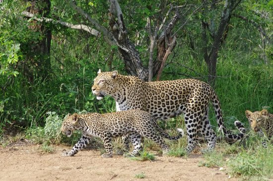 Jackalberry Lodge :                   Leopard with cubs