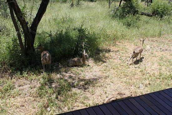 Impodimo Game Lodge:                   Klipspringer by the room