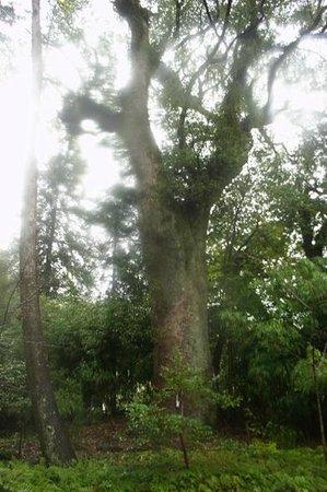 Tosa Shrine:                   立派な樹木