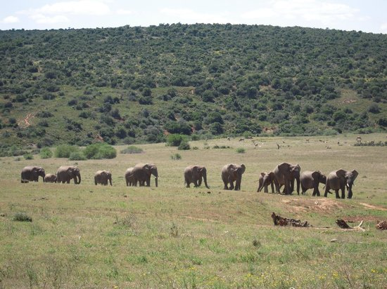 Gorah Elephant Camp:                   Herd of elephants walking up to the waterhole