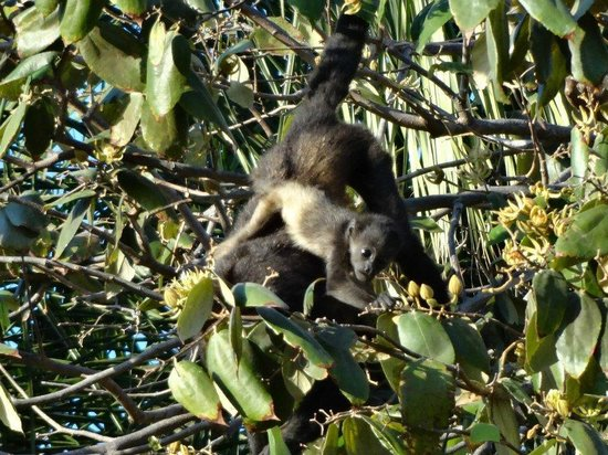 Best Western Tamarindo Vista Villas:                   Monkeys at the hotel!