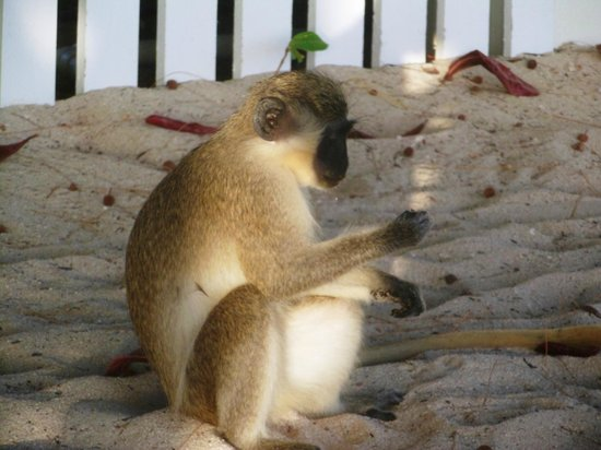 Savannah Beach Hotel:                   Little monkeys