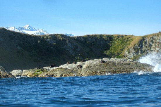 Kaikoura Kayaks:                   Seals!