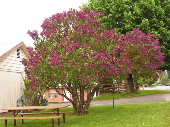 Falls Motel: Guests picnic table by lilac tree