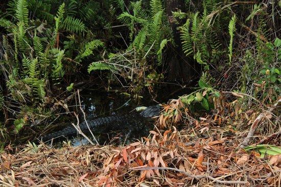 Ochopee, Флорида:                   Ein Mutteralligator