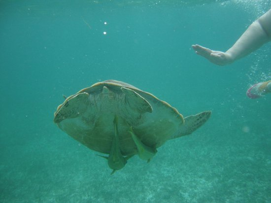 Akumal Beach : turtle with fish getting a free ride