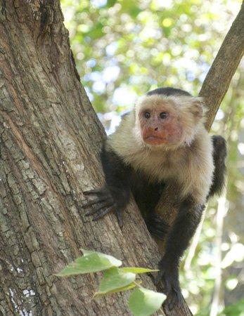 Allegro Papagayo:                   Capuchin monkey