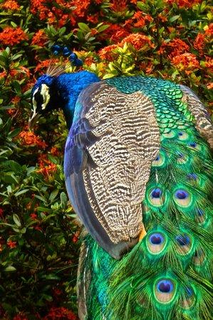 IBEROSTAR Paraiso Del Mar:                   The peacocks were magnificent