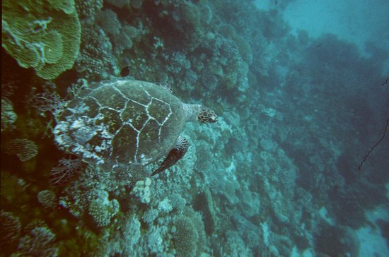 Olhuveli Beach & Spa Resort:                   tartaruga                 