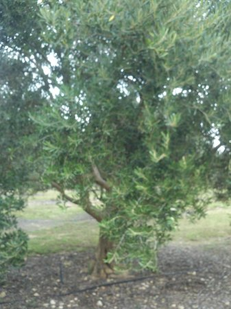 Bella Vista Ranch:                   Olive Tree