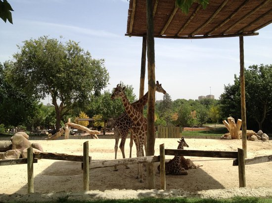 Zoo Aquarium de Madrid: Giraffes