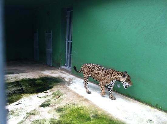 CIGS Zoo:                   onça pintada