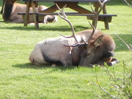 4 Seasons Inn on Fall River: Elk napping on front lawn