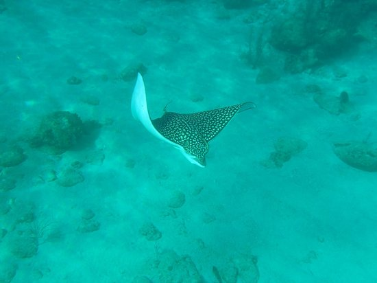 Infinity Bay Spa and Beach Resort:                   Beautiful spotted Eagle Ray