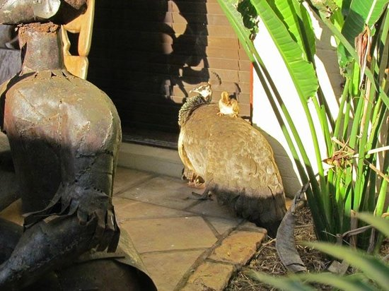 Anew Hotel Hluhluwe & Safaris: La famille de paons