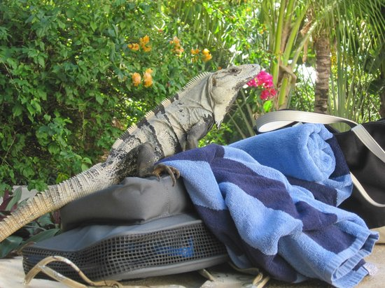 El Dorado Sensimar Riviera Maya:                   Male Iguana making himself at home on our belongings.