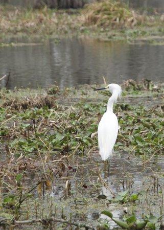 Champagne's Cajun Swamp Tours:                   Egret