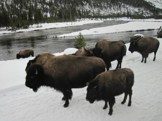 Yellowstone Vacation Tours: Buffalo on the road