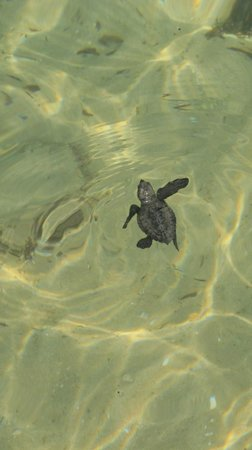 Villa Naomi Beach:                   Rescued turtles that headed for hotel!!!