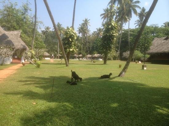 Marari Beach Resort:                   goats on main green