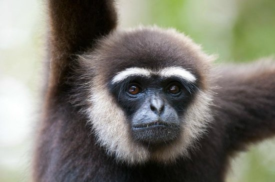 Camp Leakey :                   Boy the Gibbon