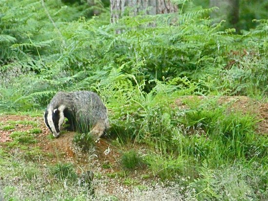 Leith Hill:                                     Badger late on a summer evening