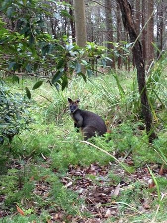 Pittwater YHA:                   wallabee staring at you