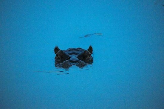 Elephant Plains Game Lodge:                   Hippo at night
