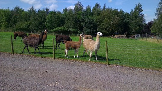 Catanger Llamas:                   Llamas in the field along the drive