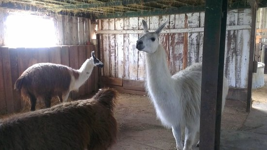 Catanger Llamas:                   Llamas inside the barn