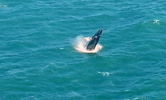Coastal Helicopters: Whales spotted off the pier in Nags Head and offshore Ocracoke.