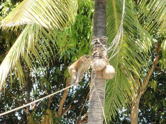 Lanta Monkey School:                   Apan plockar ner kokosnötter
