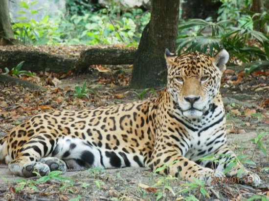 Hotel Riu Playacar:                   Началась эпоха белого ягуара.
