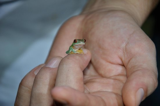 The Night Tour with Tracie The Bug Lady: Baby Gaudy Leaf Frog