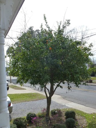 Violet Hill Bed and Breakfast : A producing orange tree in the front yard