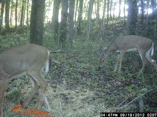 Four Seasons Cabins: Deer from our game camera