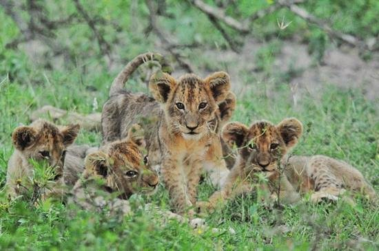 Lion Sands - Tinga Lodge :                   So lucky to have seen these!