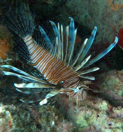 2078757d7d5b Scuba Total Cancun  sea lion fish so beautiful but so dangerous for this  environment