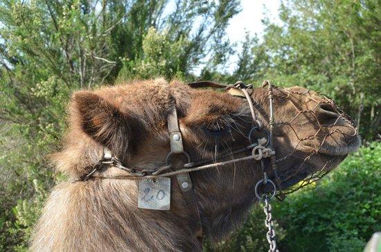 Camello Center:                   Camello que iba detrás del nuestro