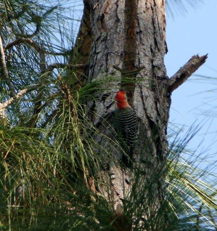 Tibet-Butler Preserve: Woodpecker