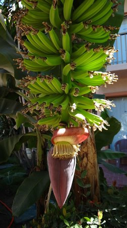 Friendly Vallarta All Inclusive Family Resort:                   Bananas growing on the property