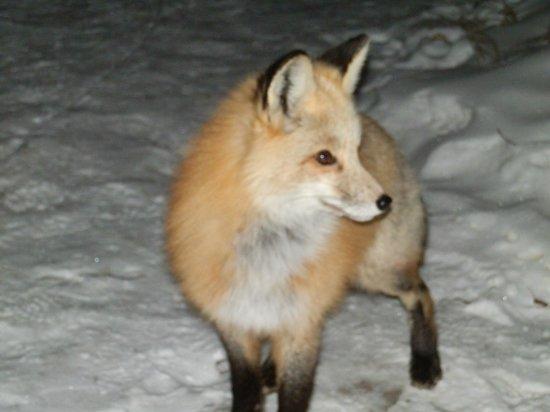 Grand Escape Cottages:                   Fox visiting Grand Escape 2010