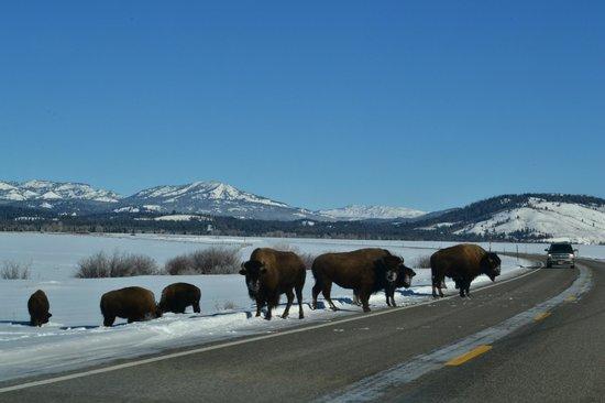 Bison everywhere , Jackson Hole way to Yellowstone