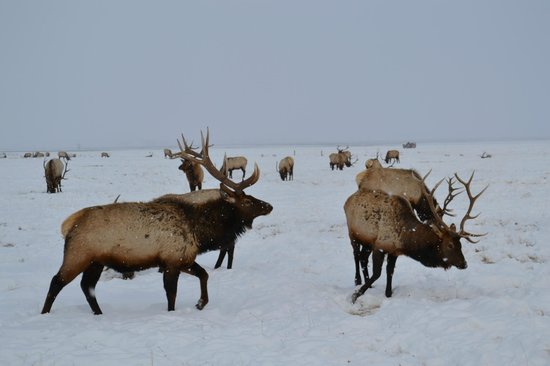 Jackson Hole, WY:                                     Elks refugee